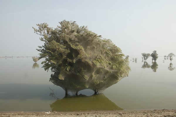 spider-trees-pakistan05